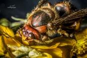 abeille macro